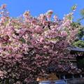 写真: 尾山神社の満開の菊桜(1)「ケンロクエンキクザクラ」の子孫にあたる。