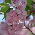 写真: 尾山神社の満開の菊桜(2)「ケンロクエンキクザクラ」の子孫にあたる。