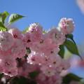 写真: 尾山神社の満開の菊桜(3)「ケンロクエンキクザクラ」の子孫にあたる。
