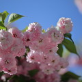 Photos: 尾山神社の満開の菊桜(3)「ケンロクエンキクザクラ」の子孫にあたる。