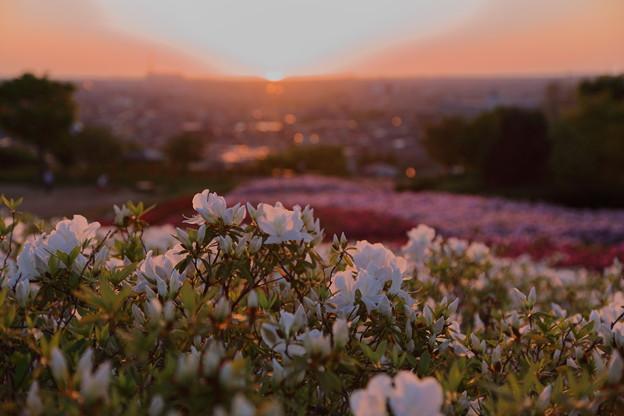 夕陽とツツジ