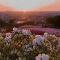 Photos: 夕陽とツツジ