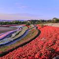 写真: 大乗寺丘陵公園 ツツジ