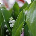 スズラン(1) 春雨の中で