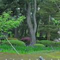 カキツバタと新緑の兼六園菊桜