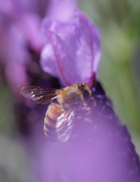 ミツバチとラベンダー 紫のベール^^