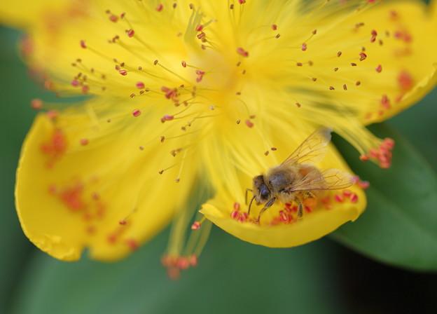 ミツバチさん お仕事中(1)