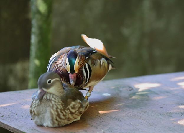 オシドリのカップル   いしかわ動物園