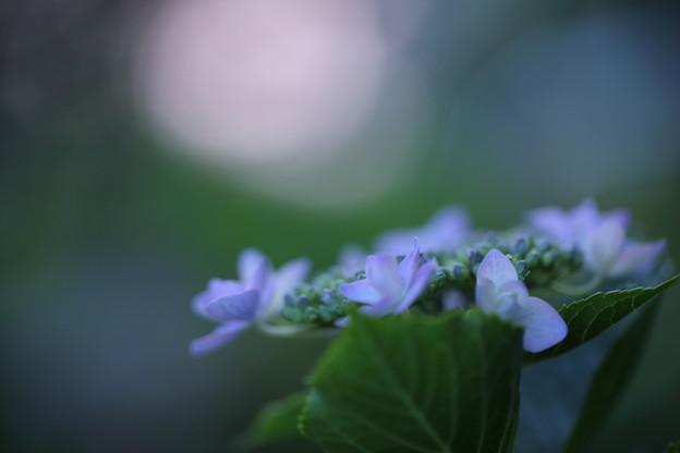 夕暮れの紫陽花