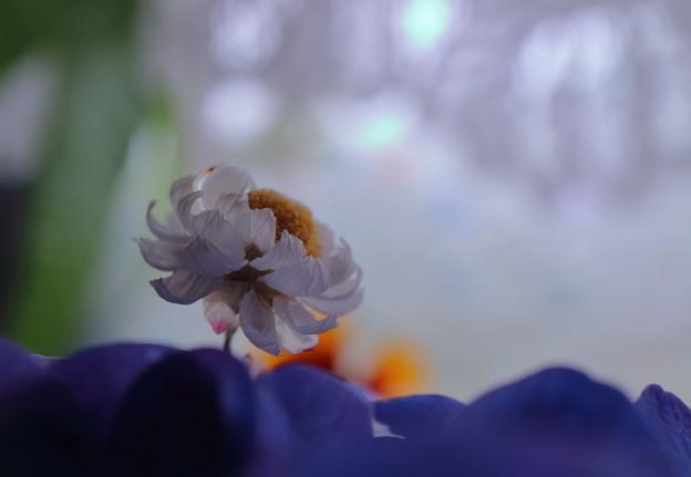 ハナカンザシ ドライ 紫陽花の海