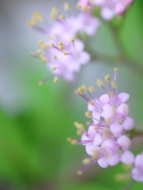 紫式部の花(1)