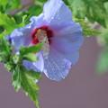 ブルーのムクゲ(1)