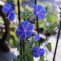 写真: ブルーの朝顔