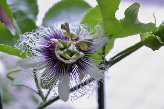 パッションフルーツの花(果物時計草)