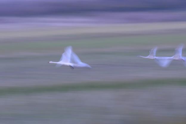 Photos: コハクチョウの飛翔(4)