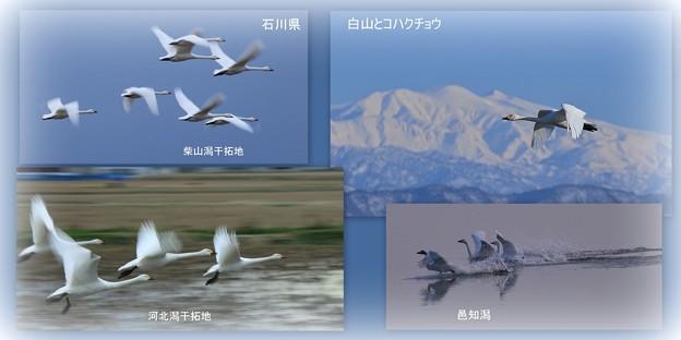 石川県 コハクチョウの飛来地