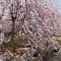 八重紅しだれ桜の咲く 公園のような庭園(1)