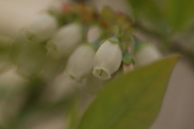 ブルーベリーの花(1)