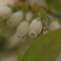 Photos: ブルーベリーの花(1)