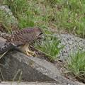 P8510885-チョウゲンボウ幼鳥
