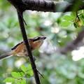 P8940040-百舌鳥