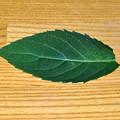 写真: アマチャの葉