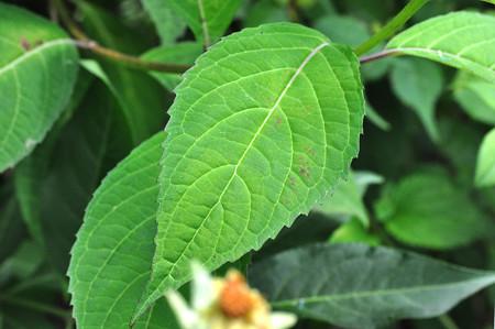 アマチャの葉