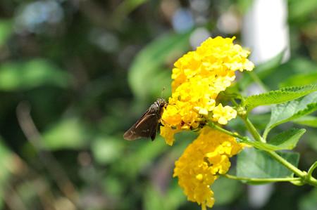 コバノランタナに蝶 20170926