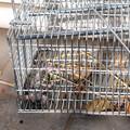 写真: ネズミ捕獲20171225
