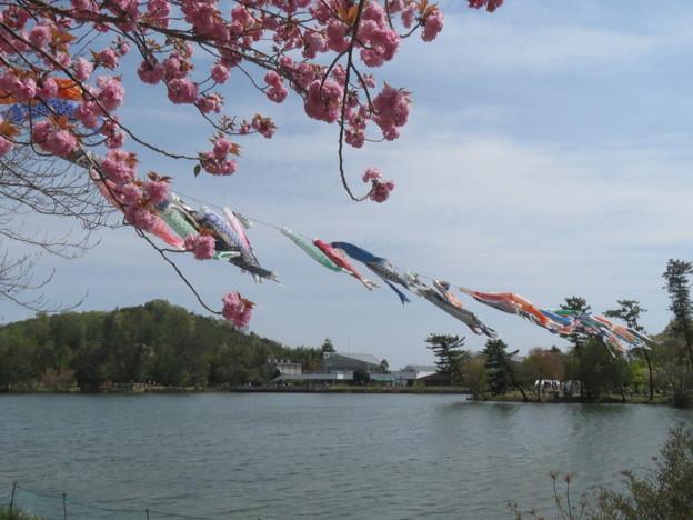 牡丹桜と鯉のぼり