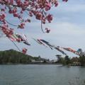 写真: 牡丹桜と鯉のぼり