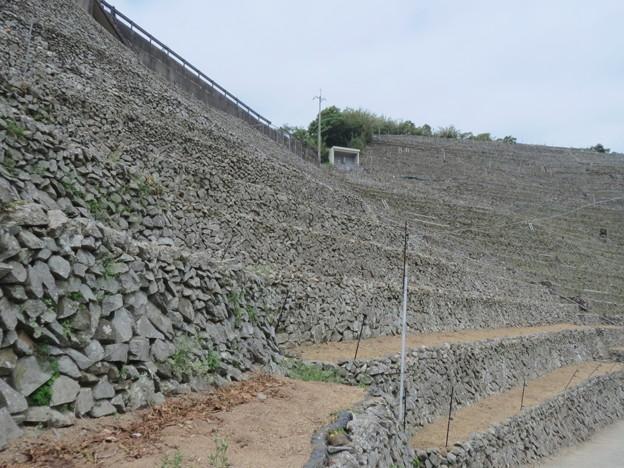 Photos: 遊子水荷浦の段畑