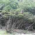写真: おさるの生る木