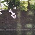 桜と石垣ってフォトジェニックだと思うの