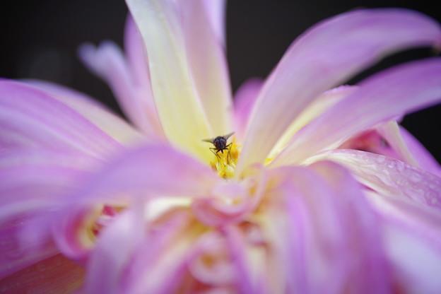 写真: 花冠に座すは、蝿の王