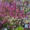 八尾桜 IMGP9211