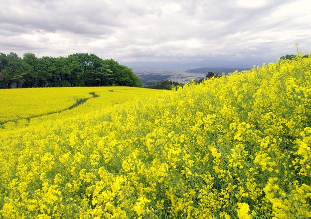 菜の花畑IMGP1792