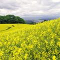 Photos: 菜の花畑IMGP1792