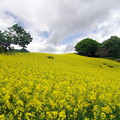 Photos: 菜の花畑IMGP1828
