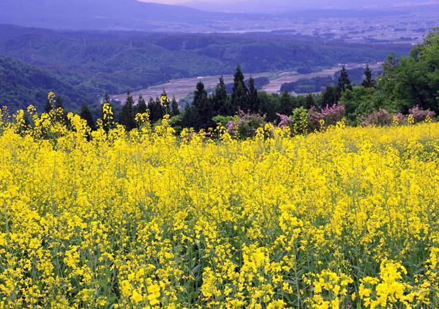 菜の花畑IMGP9923