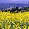 写真: 菜の花畑IMGP9923