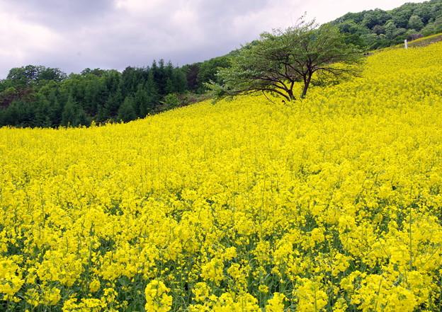 菜の花畑IMGP9952