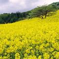 写真: 菜の花畑IMGP9952