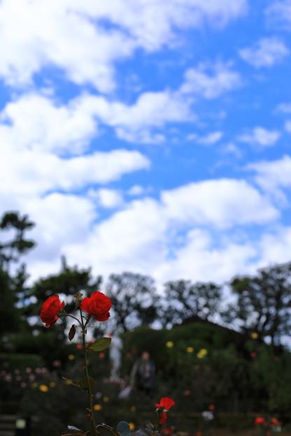 写真: 赤いバラと青空