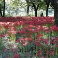 野川公園の彼岸花