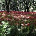 Photos: 野川公園の彼岸花