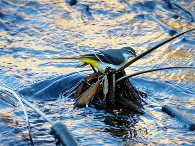 シマアジ撮りで出会った鳥たち
