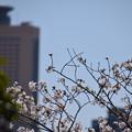 写真: 桜タワー