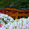 Photos: 根津神社ツツジ18