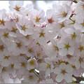 花の盛りに